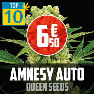 TOP 10 Amnesy Auto Queen Seeds